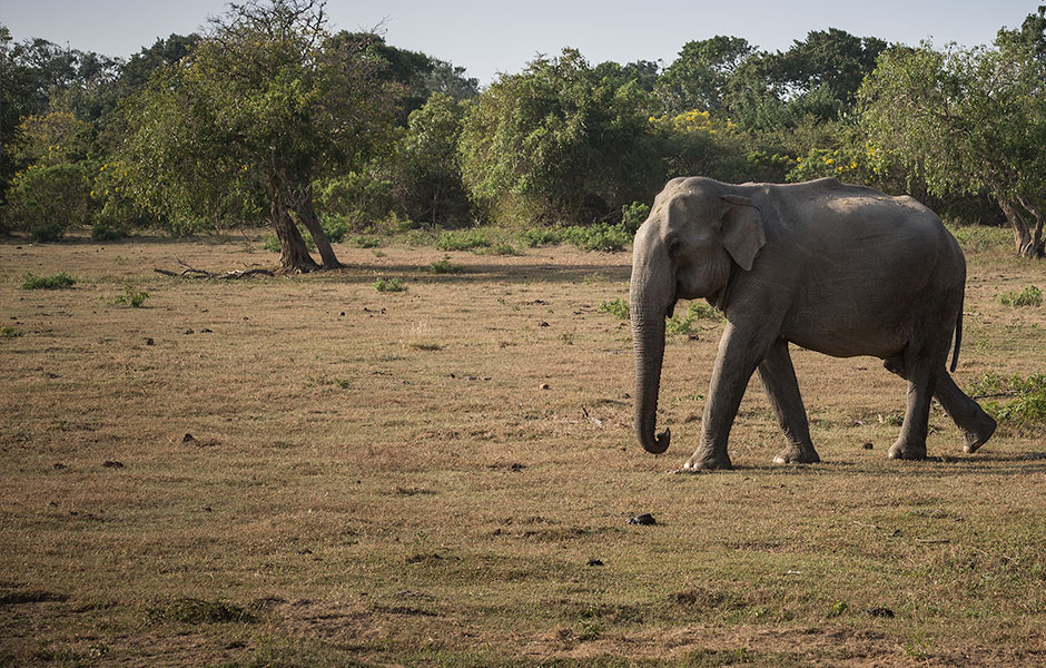 Elephant, Yala National Park