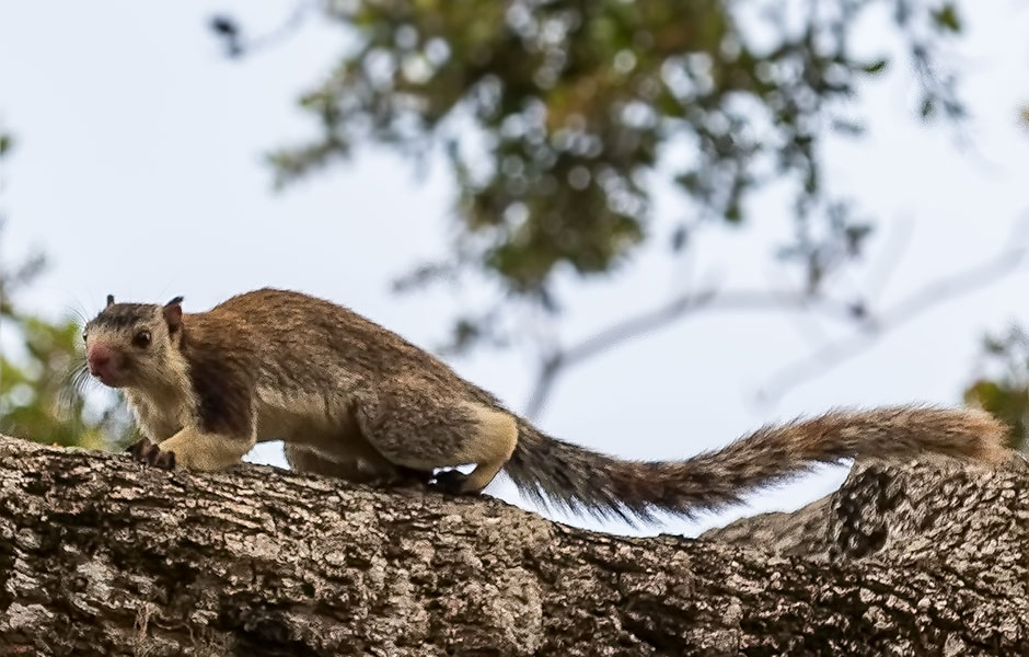 Tree squirrel, Yala National Park