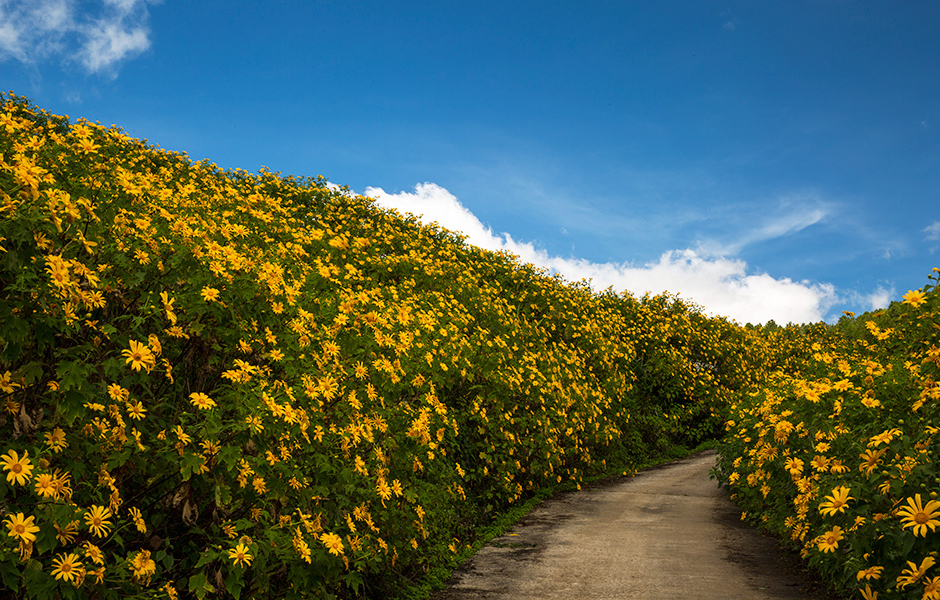 Road with Mexican sunflowers