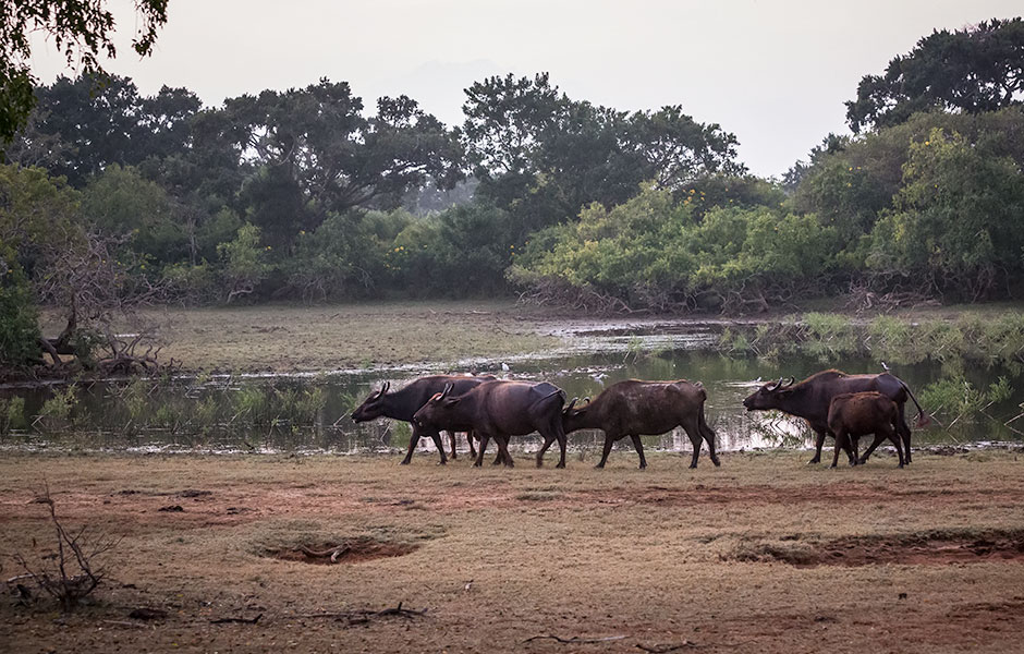 Water buffalo, Yala National Park